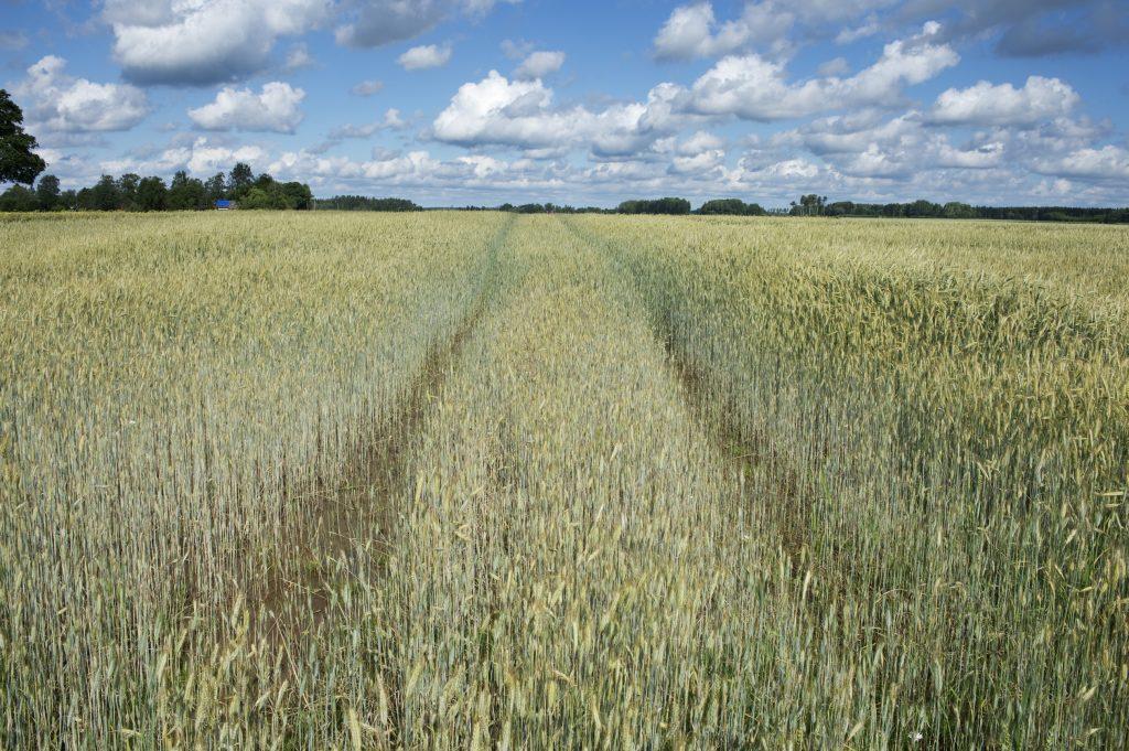 Trails in rye field, Upland. Sweden.