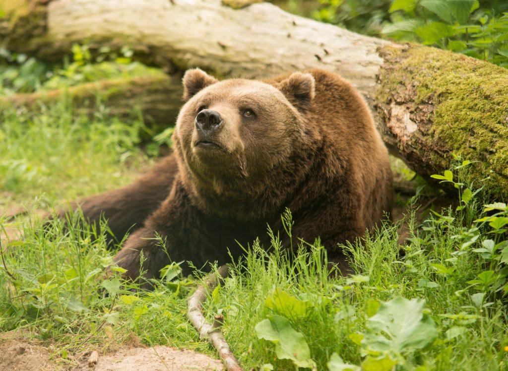 Två observationer av björn har den senaste veckan gjorts kring Bankeryd, mellan Habo och Jönköping.