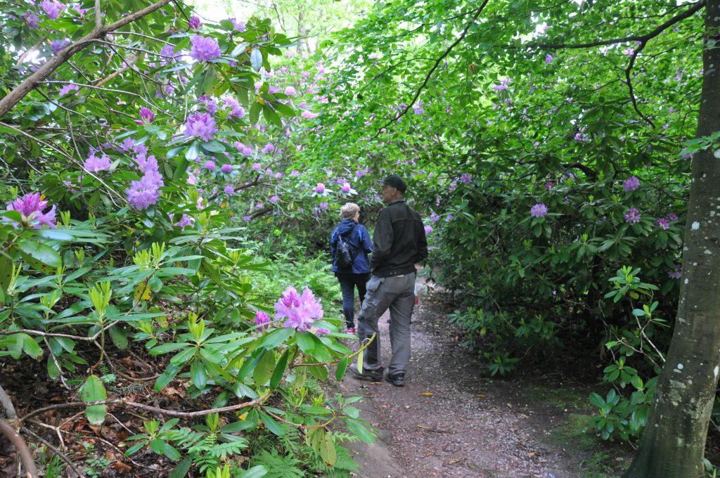 Just nu blomstrar rhododendron. På sina ställen bildar de väldiga buskarna valv över gångvägarna.