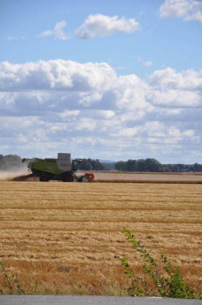Årets skörd kan bli den tredje största spannmålsskörden under 2000-talet, spår Jordbruksverket.